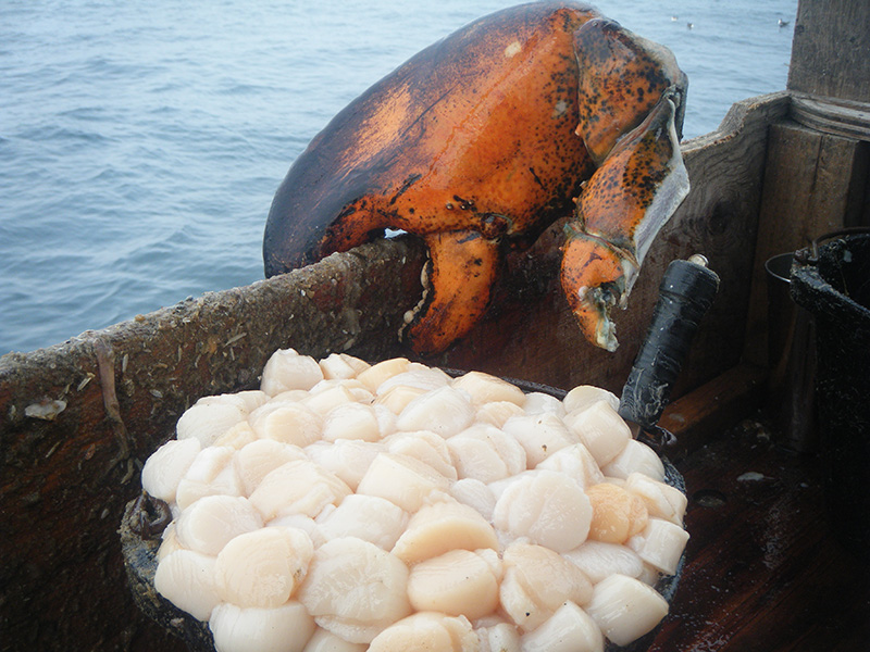 A lobster claw and scallops on a boat in New Bedford, MA